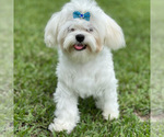 Small Photo #1 Maltese Puppy For Sale in BOCA RATON, FL, USA