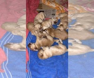 Golden Retriever Puppy for sale in DEL RIO, TX, USA