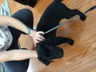 Labrador Retriever Puppy For Sale in MIDDLE ISLAND, NY