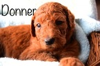 Goldendoodle Puppy For Sale in RURAL, IN, USA