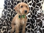 Labradoodle Puppy For Sale in EAST EARL, PA, USA