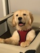 Golden Retriever Puppy For Sale in BROOKLYN, NY