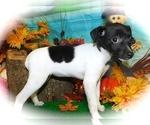 Small #2 Jack-Rat Terrier