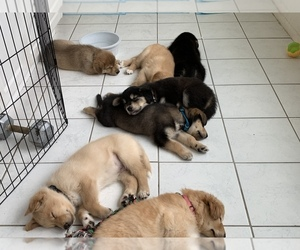 Goberian Puppy for sale in PALM DESERT, CA, USA