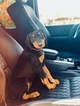 Doberman Pinscher Puppy For Sale in SAN DIEGO, California,