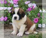 Small #3 Saint Bernard