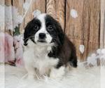 Puppy 2 Cavachon