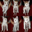 Siberian Husky Puppy For Sale in WEST SACRAMENTO, CA