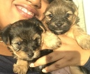 Yoranian Puppy For Sale in SAVANNAH, GA, USA