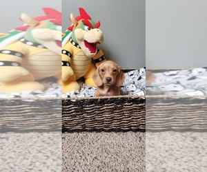 Dachshund Puppy for sale in GREENWOOD, IN, USA