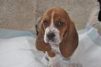 Basset Hound Puppy For Sale in DEER VALLEY, UT, USA