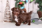 Cricket Female Shorkie
