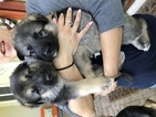 German Shepherd Dog Puppy For Sale in BEDFORD, Indiana,