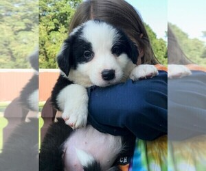 English Shepherd Puppy for Sale in OXFORD, Indiana USA