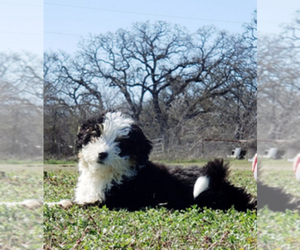 Bernedoodle Puppy for sale in ITASCA, TX, USA