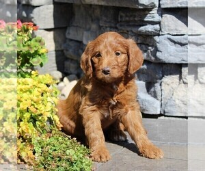 Labradoodle-Poodle (Standard) Mix Puppy for sale in RONKS, PA, USA
