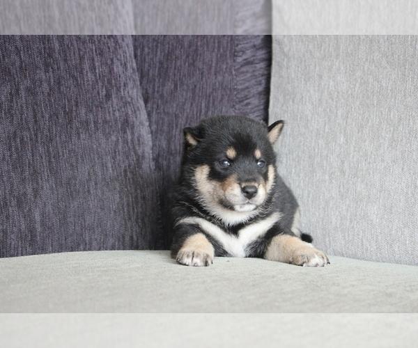 Medium Photo #4 Shiba Inu Puppy For Sale in DALLAS, TX, USA
