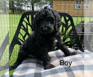Goldendoodle Puppy for sale in CLARE, IL, USA