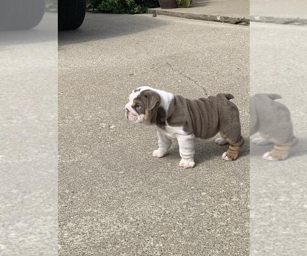 Medium Photo #5 English Bulldog Puppy For Sale in DAYTON, OH, USA