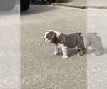 Small Photo #5 English Bulldog Puppy For Sale in DAYTON, OH, USA