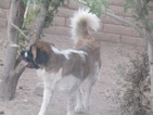 Saint Bernard Puppy For Sale in SAFFORD, Arizona,