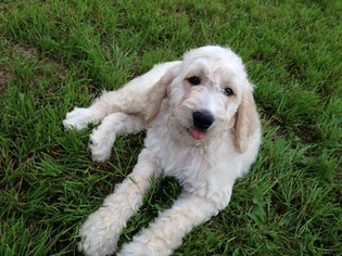 Goldendoodle Puppy For Sale in NEW FRANKEN, WI