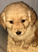 Golden Retriever Puppy For Sale in SAN FRANCISCO, CA, USA
