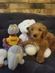 Goldendoodle Puppy For Sale in FISHERS, IN, USA