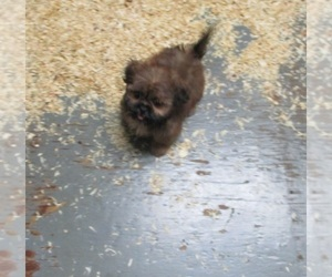 Shih Tzu Puppy for sale in CARROLLTON, GA, USA