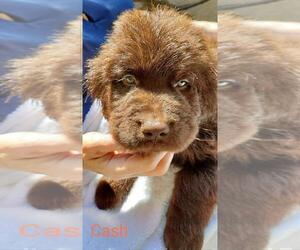 Newfoundland Puppy for Sale in TUPELO, Mississippi USA