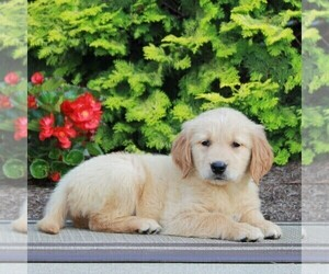 Golden Retriever Puppy for sale in GORDONVILLE, PA, USA