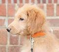 Goldendoodle Puppy For Sale in KERNERSVILLE, North Carolina,