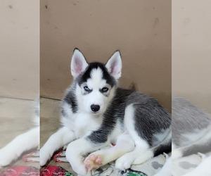 Siberian Husky Puppy for sale in MANASSAS, VA, USA