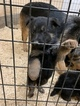 German Shepherd Dog Puppy For Sale in NEW MADISON, OH, USA