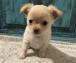 Small Photo #1 Chihuahua Puppy For Sale in NEVADA, TX, USA