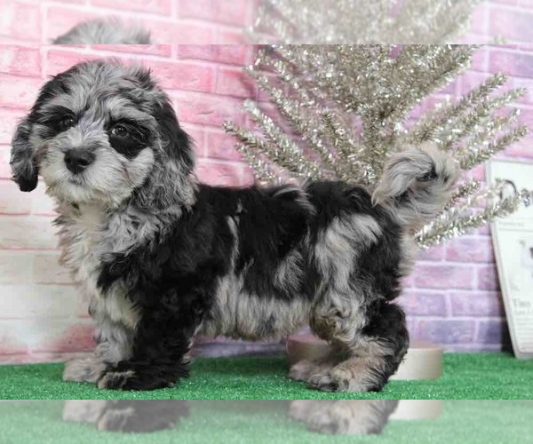View Ad Bernedoodle Puppy For Sale Near Maryland Bel Air