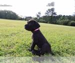 Puppy 6 Neapolitan Mastiff