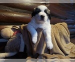 Small #943 Anatolian Shepherd-Maremma Sheepdog Mix