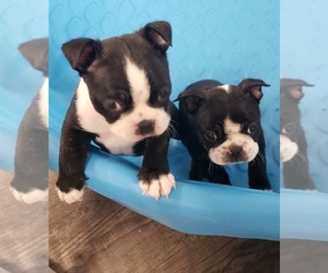 Boston Terrier Puppy for sale in DENVER, CO, USA