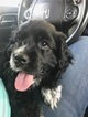 Cocker Spaniel Puppy For Sale in AUGUSTA, GA, USA