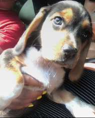 Beagle Puppy For Sale in TORRINGTON, CT, USA