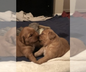 Golden Retriever Puppy for sale in SAINT CHARLES, MO, USA