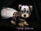 Yorkshire Terrier Puppy For Sale in POWDERLY, TX,