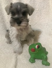 Schnauzer (Miniature) Puppy For Sale in COLLEGE STATION, TX, USA