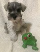 Tiny Minature Schnauzer Puppy