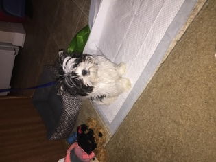 Shih Tzu Puppy For Sale in FAYETTEVILLE, NC, USA