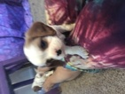 Christmas  Cavalier  King Charles  2 puppies left