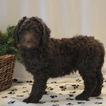 Labradoodle-Poodle (Standard) Mix Puppy For Sale in GAP, PA, USA