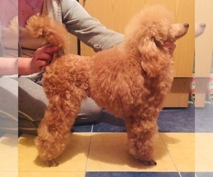 Poodle (Miniature) Dog for Adoption in Bila Tserkva, Kyiv Ukraine