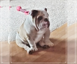 English Bulldog Puppy for Sale in DERBY, Kansas USA
